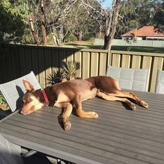 People say Im a working dog but I just love sleeping especially on the table when no one is home. . #kelpie #kelpies #kelpiesofficial #kelpiesofinstagram #reddog #kelpielife #dog #dogsofinstagram #kelpielove #kelpiegram #kelpiesofaustralia #kelpiecountry #kelpiekuntry #australiankelpie #instakelpies #ilovemydog #dogs #dogsofaustralia #dogstagram #sleepyhead #sleepingkelpie #snoozer #sunbaking #sunbathing #tanning #selftan . InstaCredit: @lui_kelpie Red Dog, Working Dogs, Border Collie, Sleep, Country, Pets, Table, People, Animals