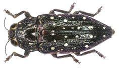 Family: Buprestidae Size: 22 mm Location: Indonesia, Molukken, Bacan leg. A.Skale, 2006; det. Niehuis Photo: U.Schmidt, 2007