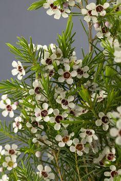 White Lady Stephanie or Wanneroo Waxflower  6x8