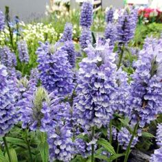 Nepeta Plants - Blue Moon - Perennial Middle of Border Plants - Perennial Borders - Perennial Plants - Gardening Garden Border Plants, Cottage Garden Plants, Garden Borders, Fruit Garden, Flower Seeds, Flower Pots, Sutton Seeds, Blue Plants, Hardy Perennials