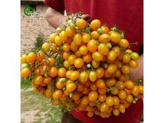 1,50 €Tomato ILDI Yellow seeds Price for Package of 5 seeds. Mini, sweet yellow, pear shaped cherry tomatoes with up to 80 fruits per truss. Tomato 'Ildi' is a cordon variety that naturally stops growing at 150-180cm (5-6') carrying 3-4 trusses per plant. Trusses keep well and can be picked, hung in a cool garage, and kept for weeks without the fruit dropping.