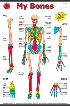 bones of the human body Human Skeleton Anatomy, Human Body Anatomy, Human Anatomy And Physiology, Human Body Organs, Human Body Unit, Human Body Systems, Body Bones, Bones Of The Body, Human Body Facts
