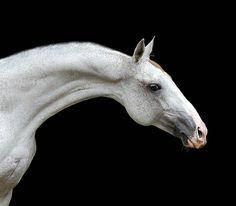 Akhal teke stallion, Pehimdar. photo: Ekaterina Druz.