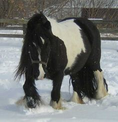 Gypsy Vanner Horses for Sale | Mare | Heterozygous Tobiano | Artic Winter