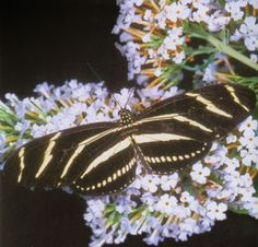 Zebra Longwing ~ Florida State Butterfly and the Butterfly with the Longest Lifespan