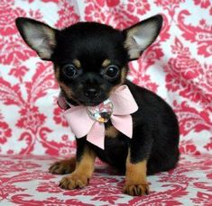Chihuahua pup, oh and they don't grow up that much that's part of what makes them so cute. But they're also real dogs and people forget that sometimes!