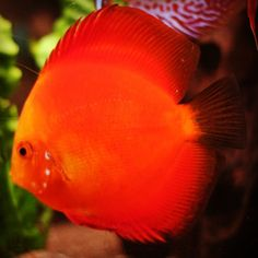 I hope this will be one of my next discus :)