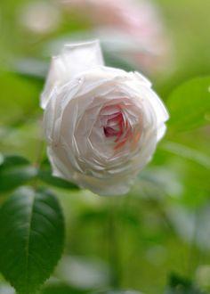 Rosa 'Fen Zhang Lou' (of unknown origin)