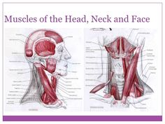 muscles neck extension - Google Search