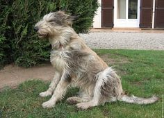 6 Photos de Berger Picard wallpaper chien animal