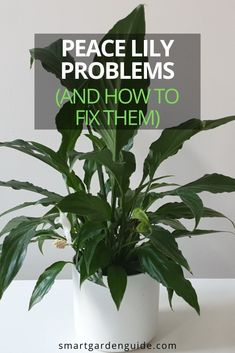 Peace lilies make perfect houseplants, but they're not without problems. I cover 5 of the most common peace lily problems and show you how to prevent and fix them, to keep your peace lily thriving. Succulent Plants, Planting Succulents, Planting Flowers, Indoor Gardening, Gardening Tips, Outdoor Gardens, Indoor Flowering Plants, Blooming Plants, Lower Lights