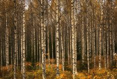 Because nothing is more beautiful than a silver birch forest. | 56 Reasons You Should Move To Finland Immediately