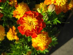Marigolds make me happy, so I'll hear no argument about how they're too brightly tacky or too easy to grow or how they bolt from their borders and marigold up the place.