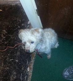 Found Dog Maltese in DORCHESTER CENTER, MA - Lost My Doggie