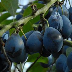 Damson, Farleigh Prolific-- an old and reliable heavy cropper
