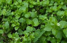 While much greenery dies back in winter, there is plenty of food to forage from hedgerows and even unexpected parts of your garden. Christopher helps you to identify and use Chickweed Edible Wild Plants, November, Wild Edibles, Survival Food, Edible Garden, Medicinal Plants, Kraut, Just In Case, Herbs