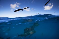 Amazing sea and sky photo - sailfish and frigate birds on the hunt Coiba Island National Park, Pacific Panama -paul-nicklen.jpg (900×600)