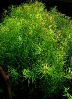 Background Plant | Rotala SP 'Nanjenshan'