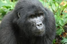 2012-10-31 Mountain Gorilla in Ugandan rainforest.