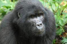 2012-10-31 Mountain Gorilla in Ugandan rainforest.