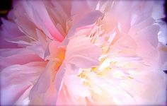 Flower Photography Pale Pink Peony Macro Close Focus white dreamy light infused ethereal via Etsy