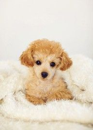 Lucille, my beautiful apricot toy poodle (14 weeks). She is my darling! Lovely photo by