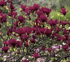 black tulip magnolia is top of our holiday wish list its dramatic pink tulips are out of this. Black Bedroom Furniture Sets. Home Design Ideas