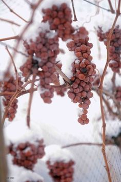 To make Icewine, the grapes are left on the vine until after the first frost hits. These grapes are harvested after being frozen in the vineyard and then, ...