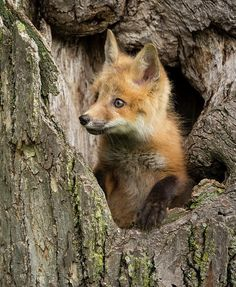 beautiful-wildlife:  Red Fox in a hollow tree by Jaynes Gallery   from  The REZs EDGE - Destruction & Redemption by author/writer Brad Jensen  FULL CHAPTERs PRE-RELEASED (Read 4 Free - click link here) http://bradjensen.wix.com/authorbradjensen  Please REBLOG/SHARE if you dig it Thanks Folks!  Watch for the Book release date here: http://authorbradjensen.tumblr.com/ or here: http://www.facebook.com/bradjensenauthor/ or here: http://bradjensen.wix.com/authorbradjensen  FOLLOW ME for killer…
