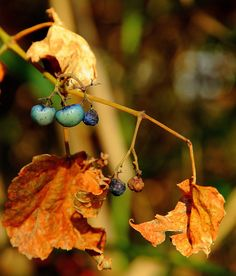 Autumn Berries by hbphotographs on Etsy https://www.etsy.com/listing/74911319/autumn-berries