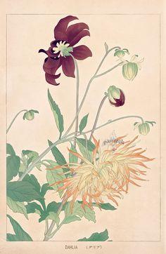 Dahlia from Chigusa Soun Flowers of Japan Woodblock Prints 1900