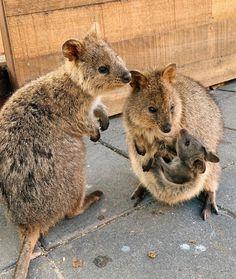 Happy Animals, Cute Funny Animals, Cute Baby Animals, Animals And Pets, Quokka Animal, Small Cute Babies, Tierischer Humor, Baby Animal Videos, Australian Animals