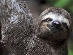 Bicho-preguiça - Bradypus variegatus   Você realmente sabia?