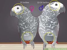 How to Tell the Sex of Parrots: 12 Steps (with Pictures) - wikiHow Parrot Pet, Parrot Toys, Budgie Toys, Parakeet Toys, Pet Bird Cage, African Grey Parrot, Bird Toys, Bird Drawings, Cute Birds