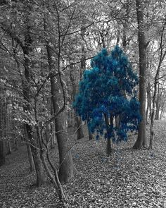 Black White Blue Tree Forest Wall Art Blue Pop Of Color Home Decor Picture  Status: Available! ...
