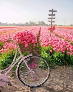 Tulips in the Netherlands Canon Photography, Nature Photography, Photography Photos, Lifestyle Photography, Pretty In Pink, Beautiful Flowers, Beautiful Pictures, Tulip Season, Juan Les Pins