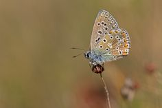 Adonis Blue (Polyommatus bellargus) by Anne Sorbes on 500px