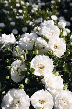 White Babyflor®. Een zuiver witte, compact bossig groeiende dwergroos met grote dicht gevulde bloemen en glimmend frisgroen loof. Goede containerroos.