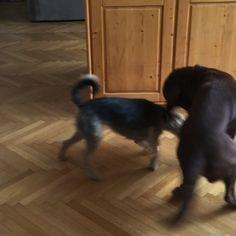 Játszanak a vadállatok #katya #drazsé #kutyák #lakás