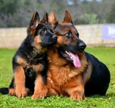 Beautiful GSD s