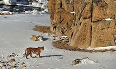 Toshiji Fukada's photograph of an Amur tiger