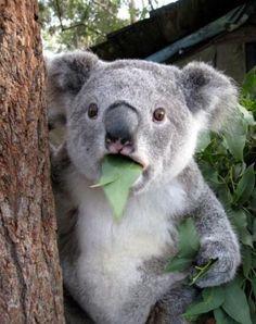 #eating #koala