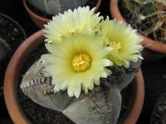 ¿Encontrarás tu cactus entre los 33 más populares? (Imágenes y nombres) | Plantas