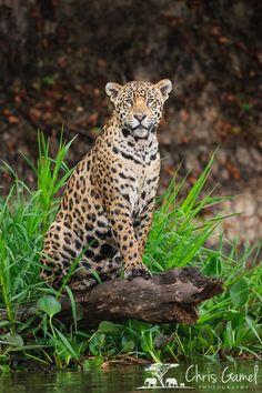 Image result for jaguar sitting