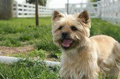 Eva Norwich Terrier | Flickr - Photo Sharing!