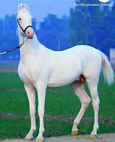 Marwari Horses, Arabian Horses, Golden Horse, Star Stable, White Horses, Horse Photography, Horse Breeds, Beautiful Horses, Cute Animals