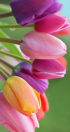 Tulips Flowers, Flowers Nature, Exotic Flowers, Amazing Flowers, Pretty Flowers, Planting Flowers, Spring Wallpaper, Macro Flower, Beautiful Flowers Wallpapers