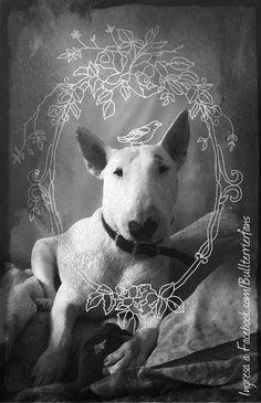 #English #Bull #Terrier
