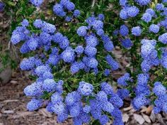 Native to Southern California. Mountain Lilac. (Ceanothus).  This is a ground cover variety
