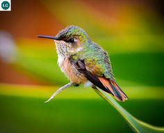 ☎️ https://www.facebook.com/WonderBirdSpecies/ ☎️☎️ Volcano hummingbird (female)(Selasphorus flammula); Costa Rica and Panama; IUCN Red List of Threatened Species 3.1 : Least Concern (LC)(Loài ít quan tâm) Chim ruồi núi lửa (mái); Costa Rica và Panama; HỌ CHIM RUỒI - TROCHILIDAE (Hummingbirds).